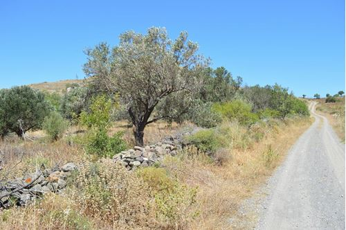 Picture of Olive Grooves - Lesvos - Sigri