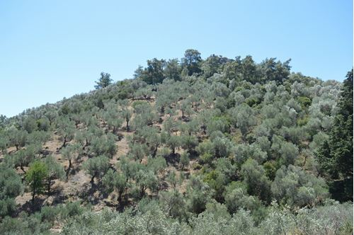 Picture of Olive Groove - Lesvos - Tarti